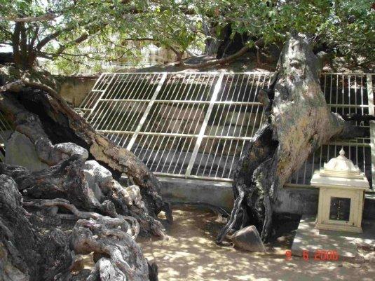 உறங்காப் புளி - ஆழ்வார்திருநகரி  நன்றி KRS